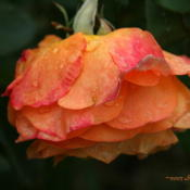 Location: San Jose Municipal Rose GardenDate: 2007-10-16