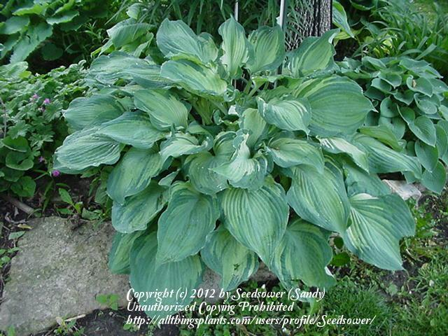 Photo of Hosta 'Guardian Angel' uploaded by Seedsower