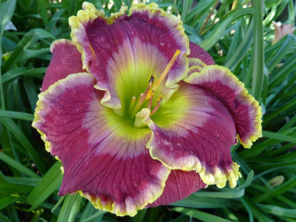 Photo of Daylily (Hemerocallis 'Green Revolution') uploaded by lyle627