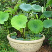 Location: Orlando FloridaDate: 2008-08-08Native American Lotus