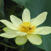 Location: Orlando FloridaDate: 2010-07-04Native American Lotus