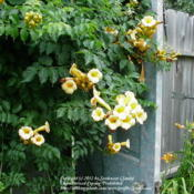 Yellow trumpet vine dies off and then comes back in a couple of y