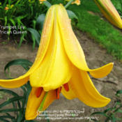 Location: Miami County IndianaDate: August 20, 2010Lilium 'African Queen'