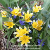 Location: IllinoisDate: 2011-04-23Tulipa dasystemon with Scilla 'Sprng Beauty'
