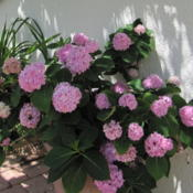 Location: Orlando FloridaDate: 2011-05-28Hydrangea macrophylla Endless Summer
