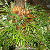 Location: Northridge, CADate: 2012-01-01Staghorn at my aunt's garden