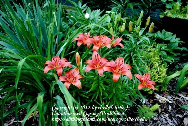 Photo of Lilies (Lilium) uploaded by chelle