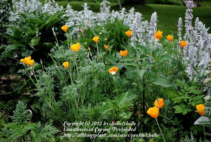 Photo of California Poppy (Eschscholzia californica) uploaded by chelle