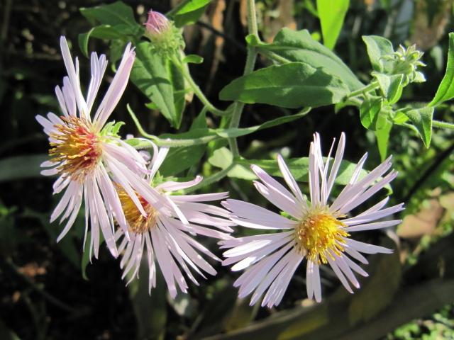 Photo of Climbing-aster (Ampelaster carolinianus) uploaded by GoneTropical