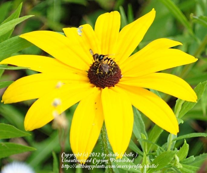 Photo of Black Eyed Susans (Rudbeckia) uploaded by chelle