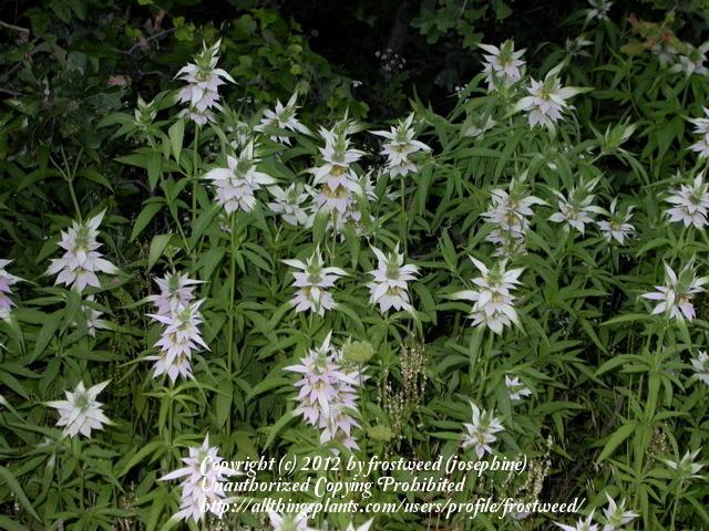 Photo of Spotted Beebalm (Monarda punctata) uploaded by frostweed