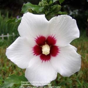 Dwarf Rose Of Sharon Hibiscus Syriacus Lil Kim In The Roses Of