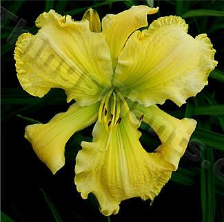 Photo of Daylily (Hemerocallis 'Flitter Flutter') uploaded by Calif_Sue