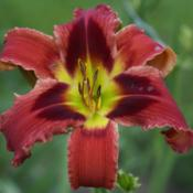 Image courtesy of Amazing Daylily Gardens. Used with Permission.