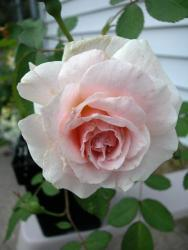 Thumb of 2012-01-10/Cottage_Rose/6f222e