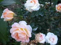 Thumb of 2012-01-10/Cottage_Rose/b4103f