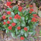 Location: Southwest FloridaDate: winter 2009For me this plant comes back year after year, when I tr
