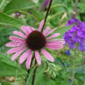 Location: In my garden in Kalama, Wa.Echinacea Ruby Star with Homestead Verbena