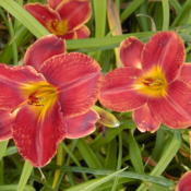 Date: 1999-07-17Image courtesy of Archway Daylily Gardens Used with permission