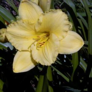 Image courtesy of Archway Daylily Gardens Used with permission