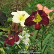 "Hemerocallis /""Ashwood still Night/"" taglilie"