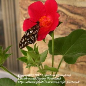 Open bloom with nectaring butterfly.