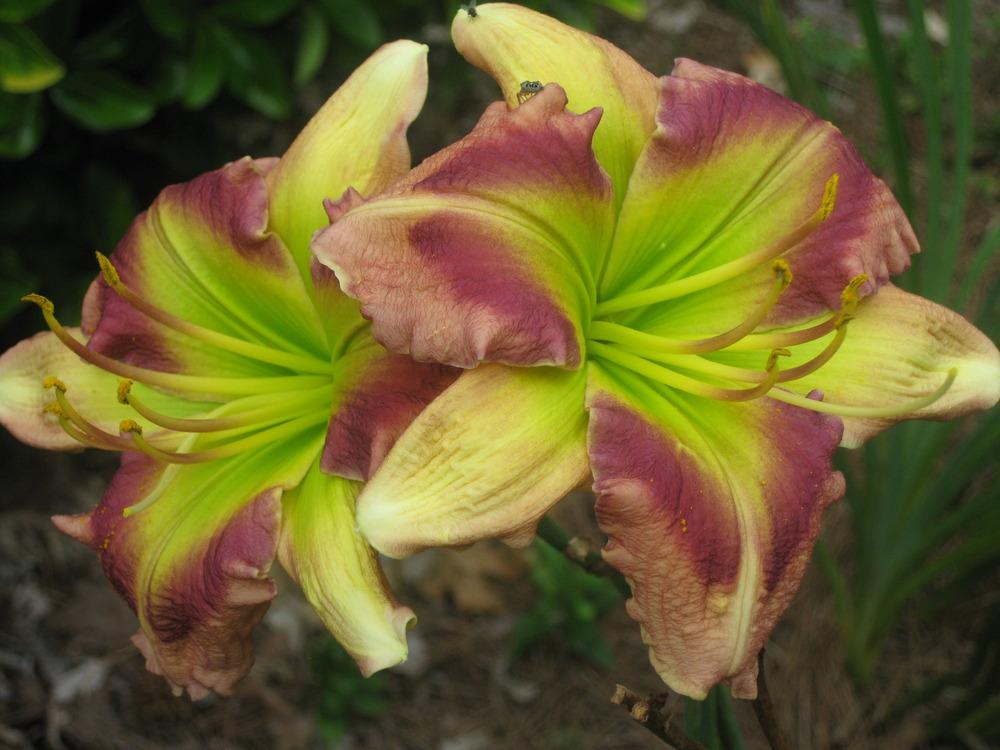 Photo of Daylily (Hemerocallis 'Green Rainbow') uploaded by Casshigh