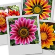 Location: In my garden in Kalama, Wa.Date: Mid SummerA collage of  Gazania blooms