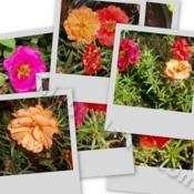 Location: In my garden in Kalama, Wa.Date: Mid SummerA collage of  Moss Rose