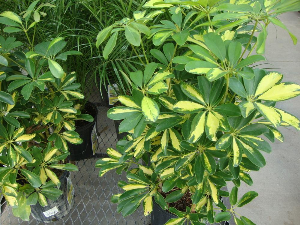 photo of the entire plant of schefflera 39 gold capella 39 posted by paul2032. Black Bedroom Furniture Sets. Home Design Ideas