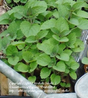 Photo of Giant Hyssop (Agastache rugosa 'Honey Bee Blue') uploaded by chelle