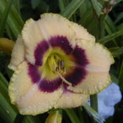 Date: 2000-06-24Image courtesy of Archway Daylily Gardens Used with permission