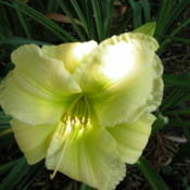 Date: 2003-07-12Image courtesy of Archway Daylily Gardens Used with permission