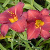 Date: 1999-07-17Image courtesy of Archway Daylily Gardens Used with per