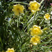 Image courtesy of Archway Daylily Gardens Used with per