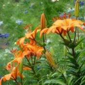 Location: In my garden in Kalama, Wa.Date: 2006-06-24Asiatic Lily with Love in a mist in background