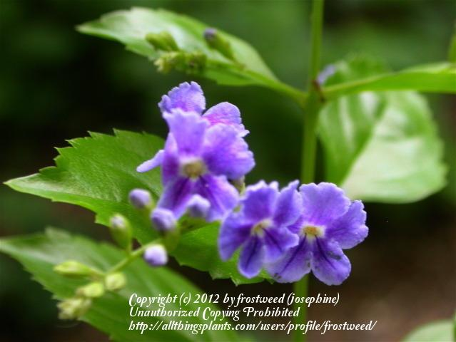 Photo of Sky Flower (Duranta erecta) uploaded by frostweed