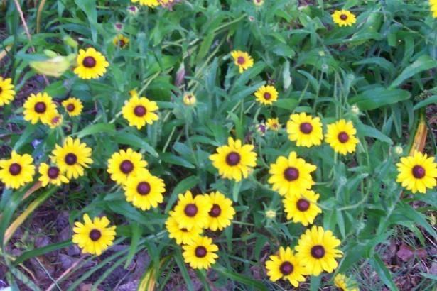 Photo of Black Eyed Susans (Rudbeckia) uploaded by hementia