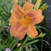 Date: 1999-07-01Image courtesy of Archway Daylily Gardens Used with per