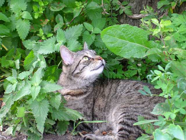Catmint entire plant