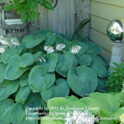 Most awesome of hostas!