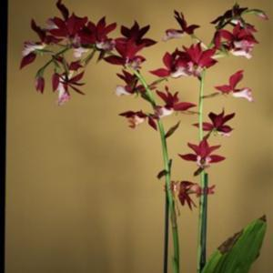 Phaius Chariots of Fire