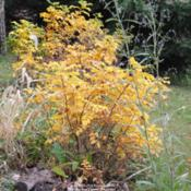 Location: My Northeastern Indiana Gardens - Zone 5bDate: 2011-11-07Gold Autumn leaves in zone 5.