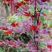 Location: My Northeastern Indiana Gardens - Zone 5bDate: 2011-11-07Fall leaf color is much brighter and more intensley red