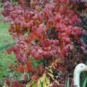 Location: My Northeastern Indiana Gardens - Zone 5bDate: 2011-11-07Good Late Fall Color.