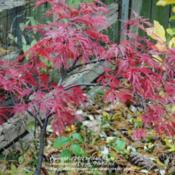 Location: My Northeastern Indiana Gardens - Zone 5bDate: 2011-11-07Red color brightens considerably in cooler late season