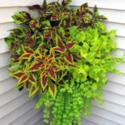 All About Coleus