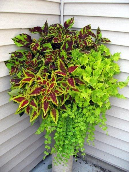all about coleus  garden, Natural flower