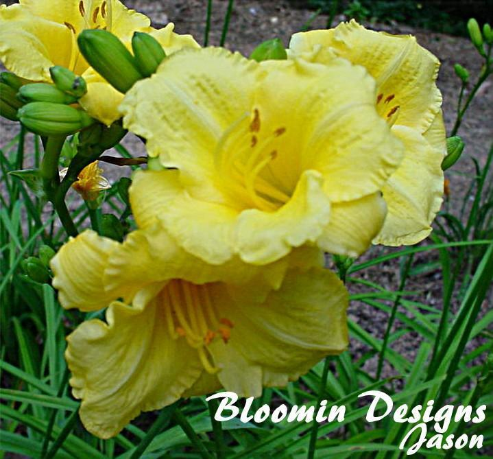 Photo of Daylily (Hemerocallis 'Irish Elf') uploaded by vic