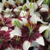 Photo courtesy of B&D Lilies  Used with Permission